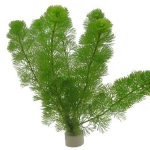 Tropica marsilea hirsuta en coupelle plante pour aquarium for Plante pour aquarium